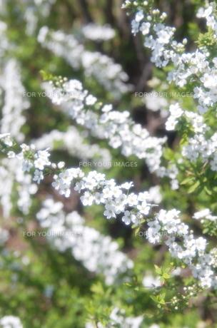 白と緑のユキヤナギの春の素材 [FYI00153578]