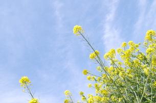 春の青空と菜の花の写真素材 [FYI00153590]