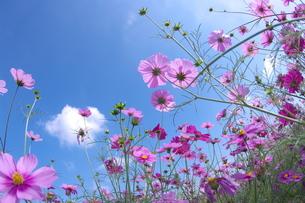 さわやかな空とコスモス畑の写真素材 [FYI00153595]