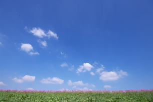 青空とコスモス畑の荒川河川敷の写真素材 [FYI00153604]