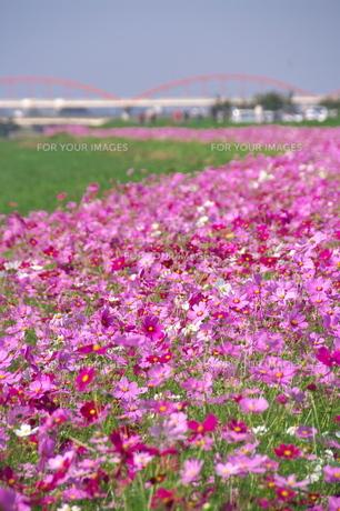 鮮やかなピンクのコスモスロードの素材 [FYI00153613]