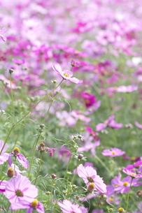 鮮やかなピンクのコスモス畑の写真素材 [FYI00153616]