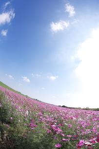 さわやかな空と広大なコスモス畑の写真素材 [FYI00153617]