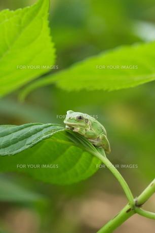 紫陽花の葉の上でじっとしているかわいいカエルの写真素材 [FYI00153638]