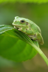 紫陽花の葉の上でじっとしているかわいいカエルの写真素材 [FYI00153639]