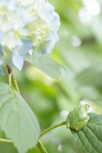 紫陽花の葉の上でじっとしているかわいいカエルの写真素材 [FYI00153646]