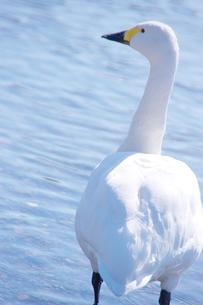 真っ白い白鳥の後ろ姿の素材 [FYI00153650]