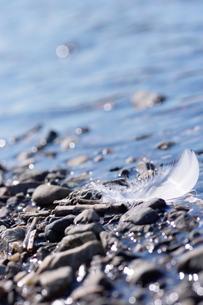 光り輝く水辺の白鳥の羽根の素材 [FYI00153652]
