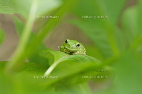 紫陽花の葉の上でじっとしているかわいいカエルの写真素材 [FYI00153660]
