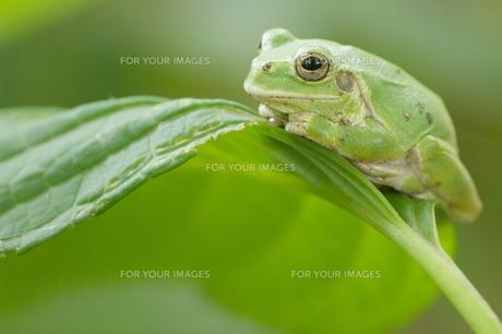 紫陽花の葉の上でじっとしているかわいいカエルの写真素材 [FYI00153661]