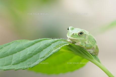 紫陽花の葉の上でじっとしているかわいいカエルの写真素材 [FYI00153662]
