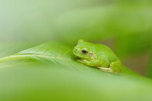 紫陽花の葉の上でじっとしているかわいいカエルの写真素材 [FYI00153671]