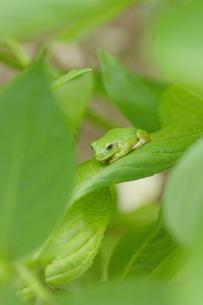 紫陽花の葉の上でじっとしているかわいいカエルの写真素材 [FYI00153673]