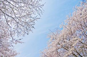 桜の木の下で1の素材 [FYI00153819]