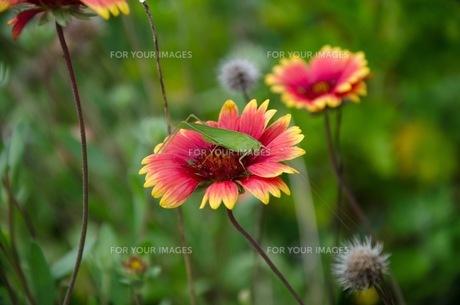 花にとまったバッタの写真素材 [FYI00153860]