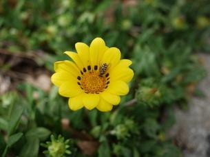 蜜を集めるミツバチの写真素材 [FYI00153864]