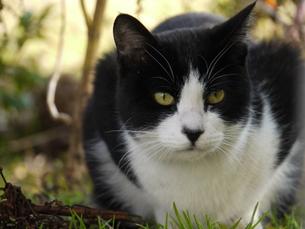 草むらの中のネコの写真素材 [FYI00153865]