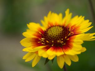 天人菊の写真素材 [FYI00153892]
