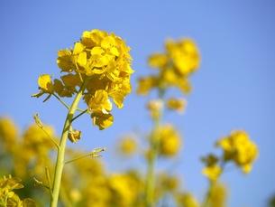 菜の花の写真素材 [FYI00153927]