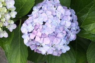 紫陽花の写真素材 [FYI00153945]