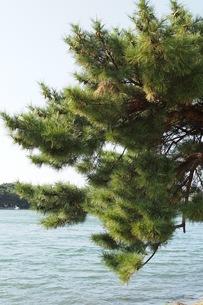 池の近くにある松の写真素材 [FYI00153954]