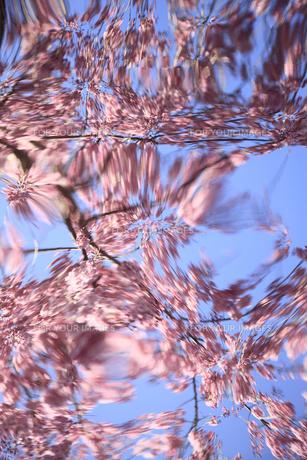 反射鏡に写る桜の写真素材 [FYI00154016]