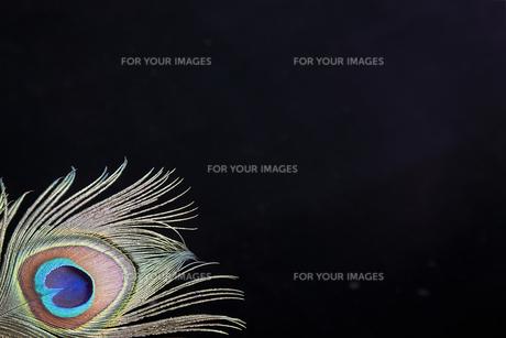 豪華な孔雀の羽根の素材 [FYI00154017]