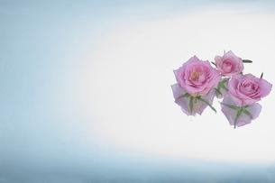 ビュティー薔薇の香りの写真素材 [FYI00154025]