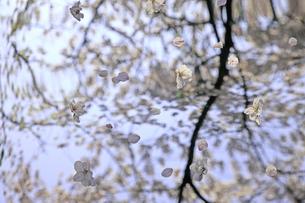 立体見える桜の素材 [FYI00154033]