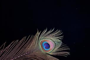 豪華な孔雀の羽根の素材 [FYI00154034]