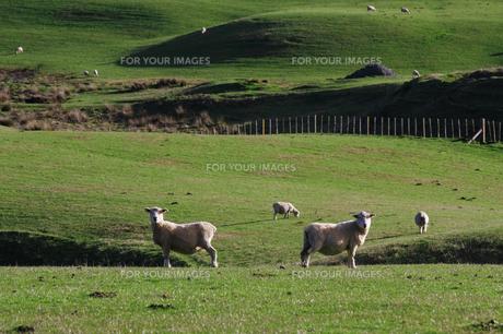 牧場の羊のカップルの写真素材 [FYI00154111]