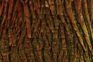 テクスチャ、木の写真素材 [FYI00154112]