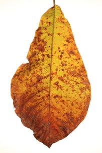 紅葉の葉の写真素材 [FYI00154122]