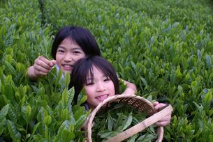 茶摘みの写真素材 [FYI00154202]