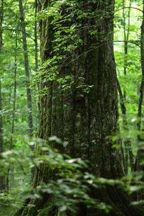 森の神 日本一のブナの写真素材 [FYI00154504]