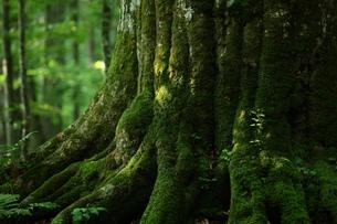 森の神 日本一のブナの写真素材 [FYI00154523]