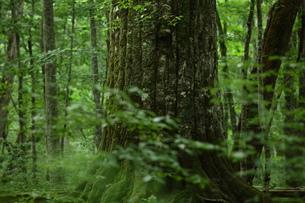 森の神 日本一のブナの写真素材 [FYI00154524]