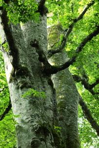 森の神 日本一のブナの写真素材 [FYI00154526]