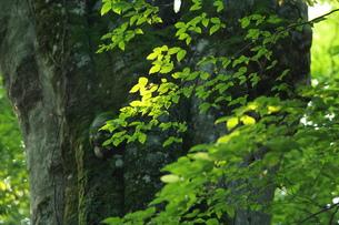 森の神 日本一のブナの写真素材 [FYI00154528]