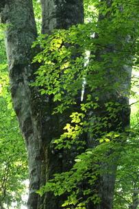 森の神 日本一のブナの写真素材 [FYI00154530]