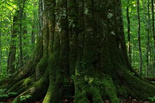 森の神 日本一のブナの写真素材 [FYI00154531]
