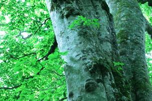 森の神 日本一のブナの写真素材 [FYI00154532]