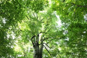 森の神 日本一のブナの写真素材 [FYI00154533]