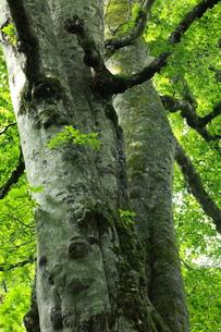 森の神 日本一のブナの写真素材 [FYI00154534]