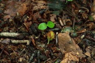 ブナの実 森の神の写真素材 [FYI00154544]