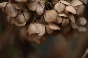 ガクアジサイの枯れ花の素材 [FYI00155165]
