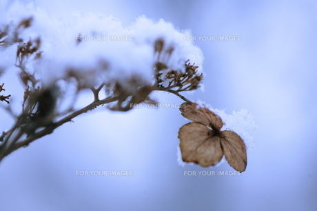 ガクアジサイの枯れ花の素材 [FYI00155174]