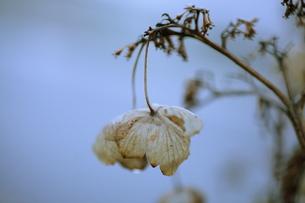ガクアジサイの枯れ花の素材 [FYI00155212]