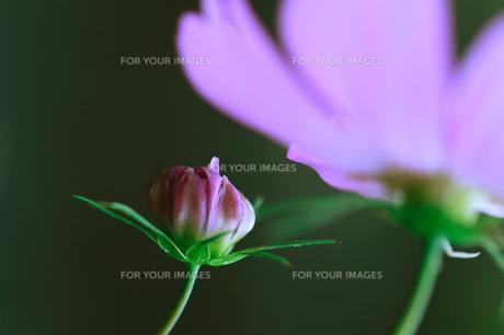 コスモスの花の写真素材 [FYI00155242]