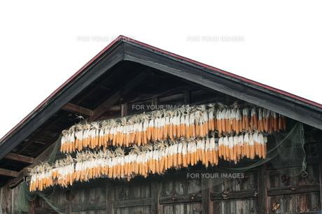 とうもろこしと小屋の写真素材 [FYI00155505]